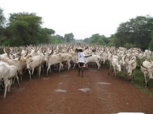 Cattle_Jonglei